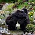 baby gorillas hug