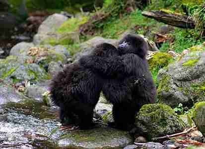 gorillas hugging