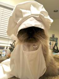 Senior cat in baker's outfit
