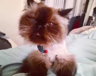 Senior Himalayan cat