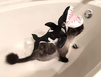 Rescue cat in orca outfit