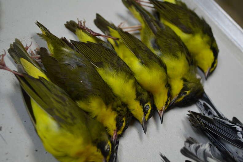 Dead migratory birds