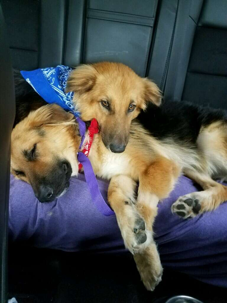 Bonded shelter dogs riding to their forever home together