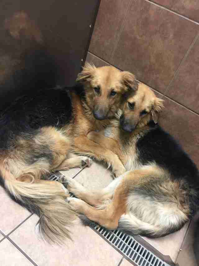 Bonded dogs at high-kill shelter in Texas