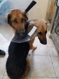 Bonded dogs at veterinarian