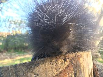 Rescued baby porcupine