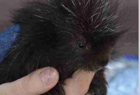 Baby porcupine at rehabilitation center