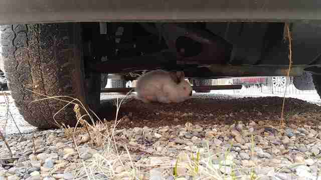Rabbit hiding under car