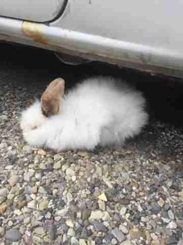 Rabbit near car