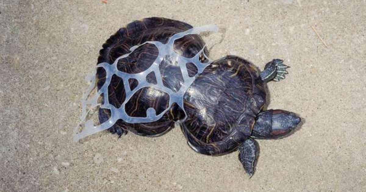 Image result for turtle caught in plastic rings image""