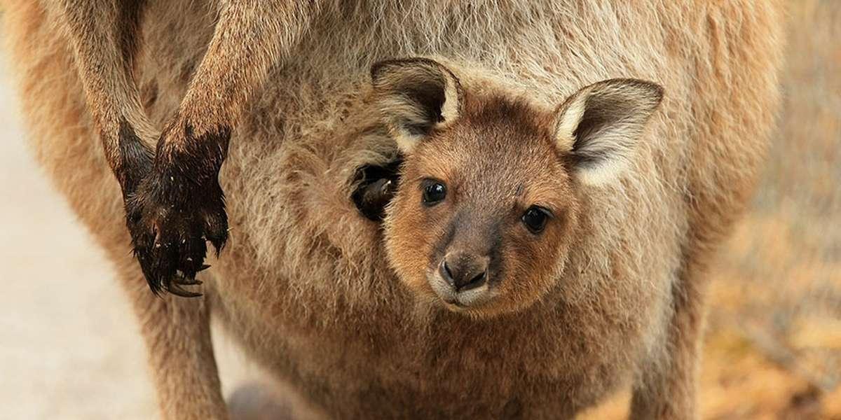 kangaroo pouch kangaroos inside pouches
