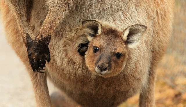 Once You See Inside A Kangaroos Pouch Theres No Going Back The Dodo