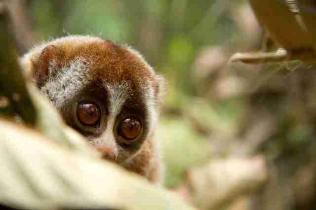 The Truth Behind Those Cute Loris Videos Isn't As Happy As ...