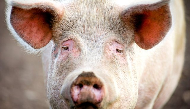 Pigs Tied To Table, Shot With Handguns In Appalling Experiment