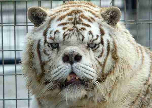 this is why no one should ever breed white tigers the dodo