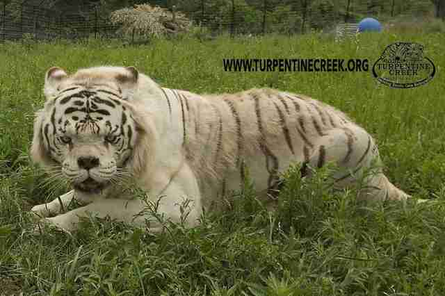 this is why no one should ever breed white tigers - the dodo