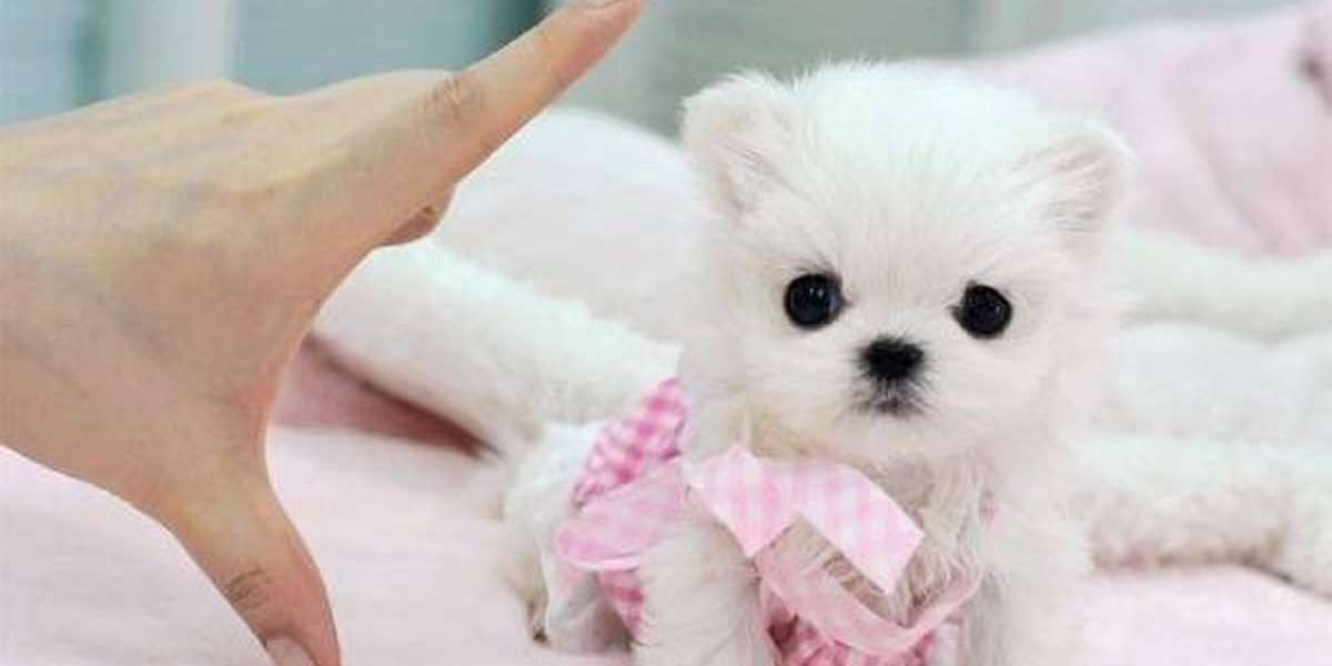 If You Love Animals Never Buy A Teacup Dog The Dodo