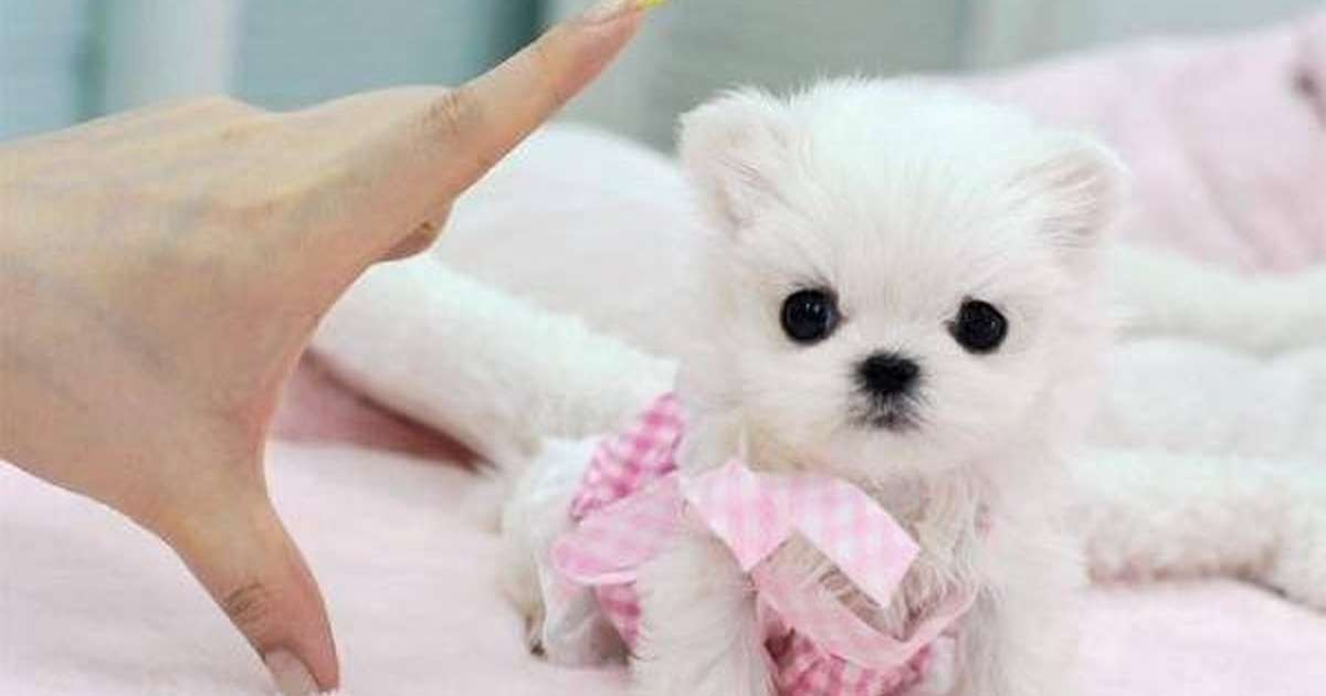 If You Love Animals, Never Buy A Teacup Dog - The Dodo