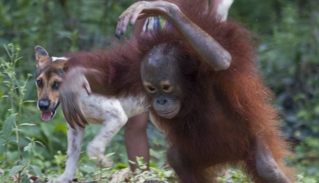 Baby Orangutan Was Raised To Think She's A Dog - The Dodo