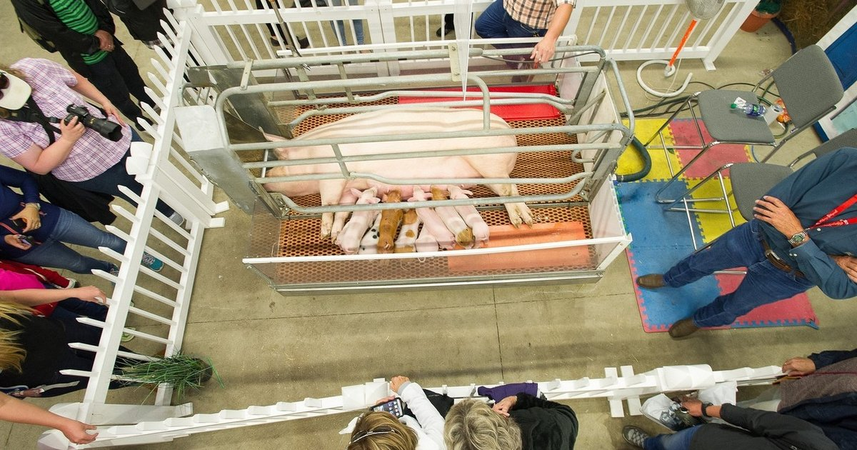 It S Totally Legal To Keep A Mother Pig And Her Babies