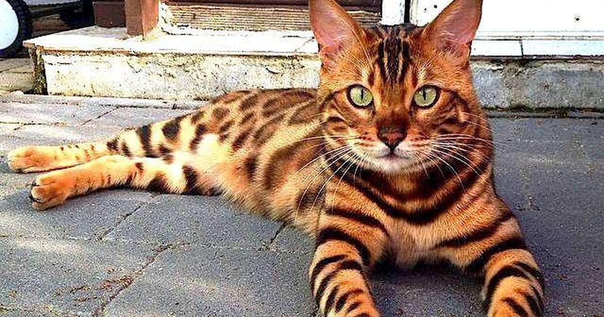 Why You Should Think Twice Before Buying A Bengal Cat - The Dodo