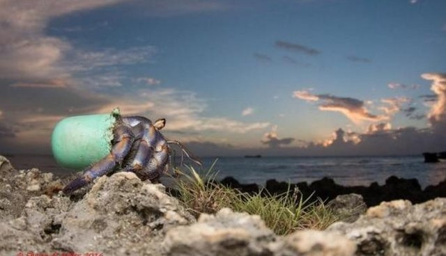 Stunning Photos Show Hermit Crabs Making Homes Out Of Human Trash The Dodo