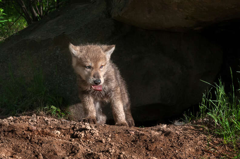 Wolf pup by den