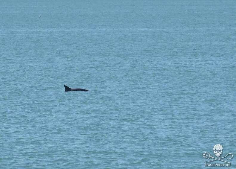 A long vaquita in the Gulf of California