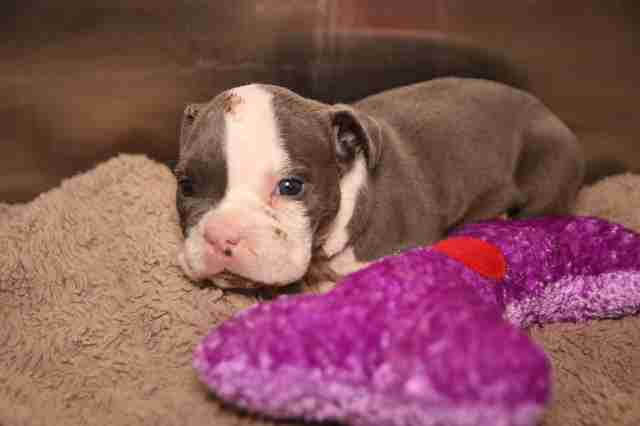 Puppy seized from backyard breeder in Texas