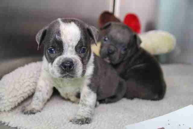 Puppies seized from backyard breeder in Texas