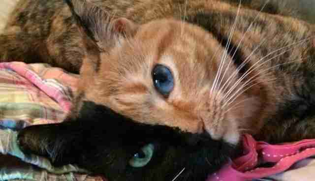 Venus The TwoFaced Cat Is A Marvelous Mystery The Dodo - Venus two faced cat