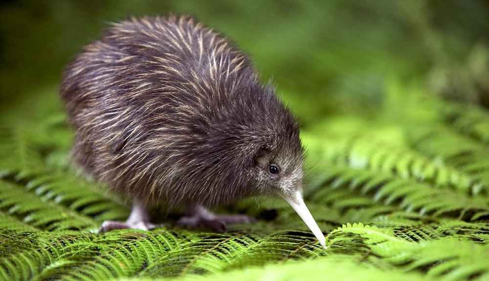 curious facts that prove kiwis are amazing little birds  the dodo, Beautiful flower