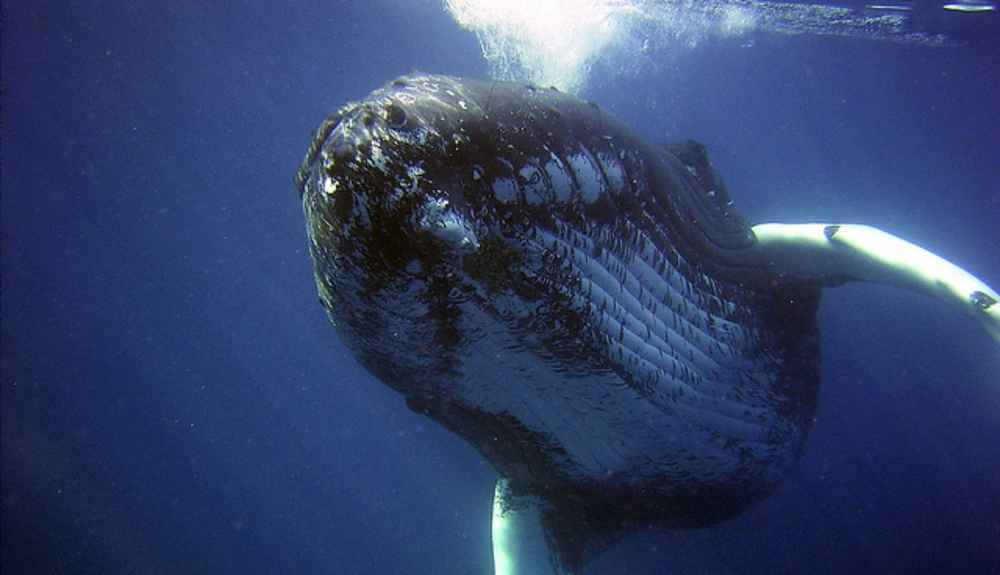 how to protect whales from being This at a time when whales face growing threats from human join a community of over one million people helping protect the wildlife and places we love.