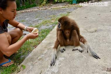 Rescuer feeds sad gibbon