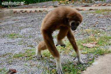 Gibbon rescued from captivity explores sanctuary