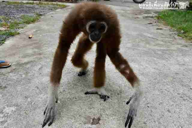 Gibbon rescued from being kept as a pet