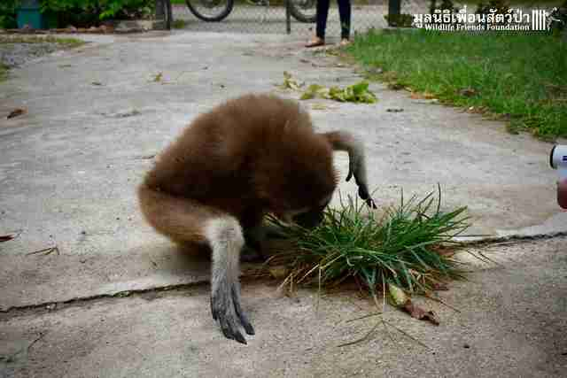 Rescued gibbon sniffs the grass