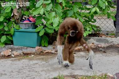 Rescued white-handed gibbon