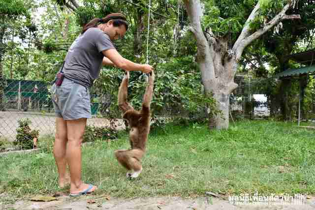 Rescuer plays with sad captive gibbon
