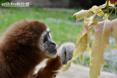 Rescued gibbon sniffs leaves