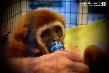 Gibbon kept as a pet gets a drink of water after rescue