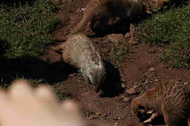Mongoose with skin condition