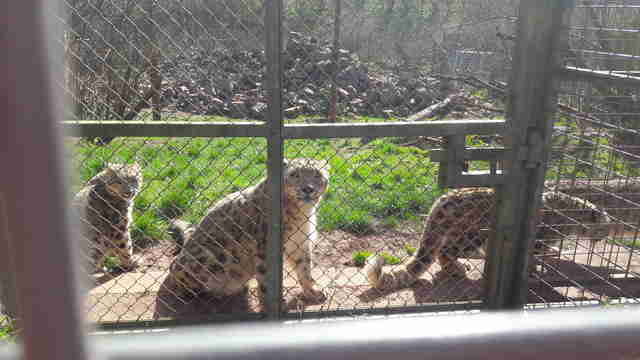 Leopards in zoo enclosure