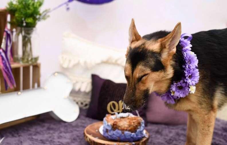 Dog eating birthday cake