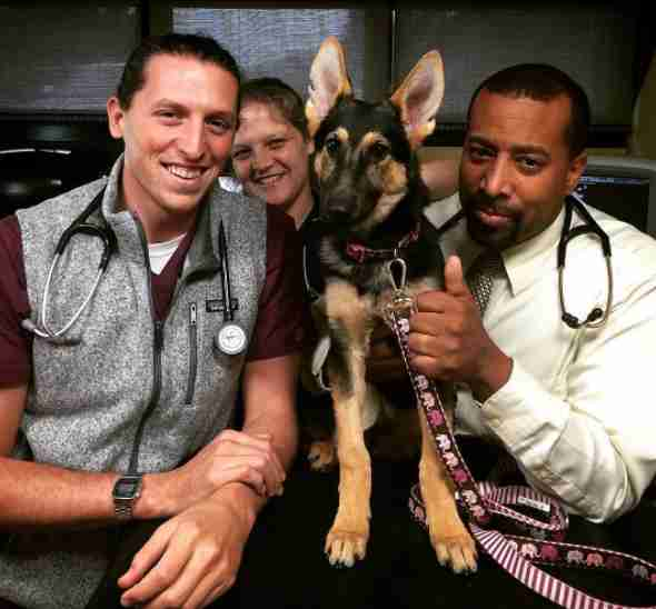 German shepherd at vet clinic