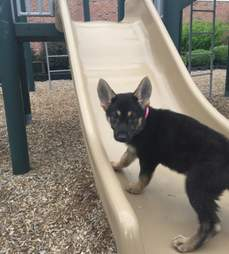 German shepherd puppy at playground