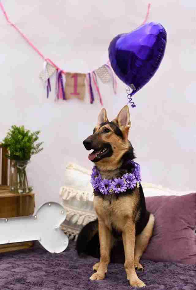 German shepherd dog's birthday party