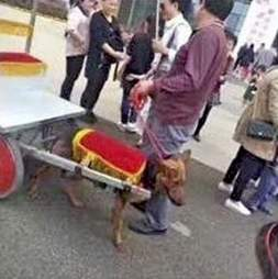 A dog pulling a rickshaw in China