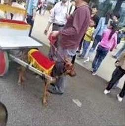 Dog pulling a rickshaw in China