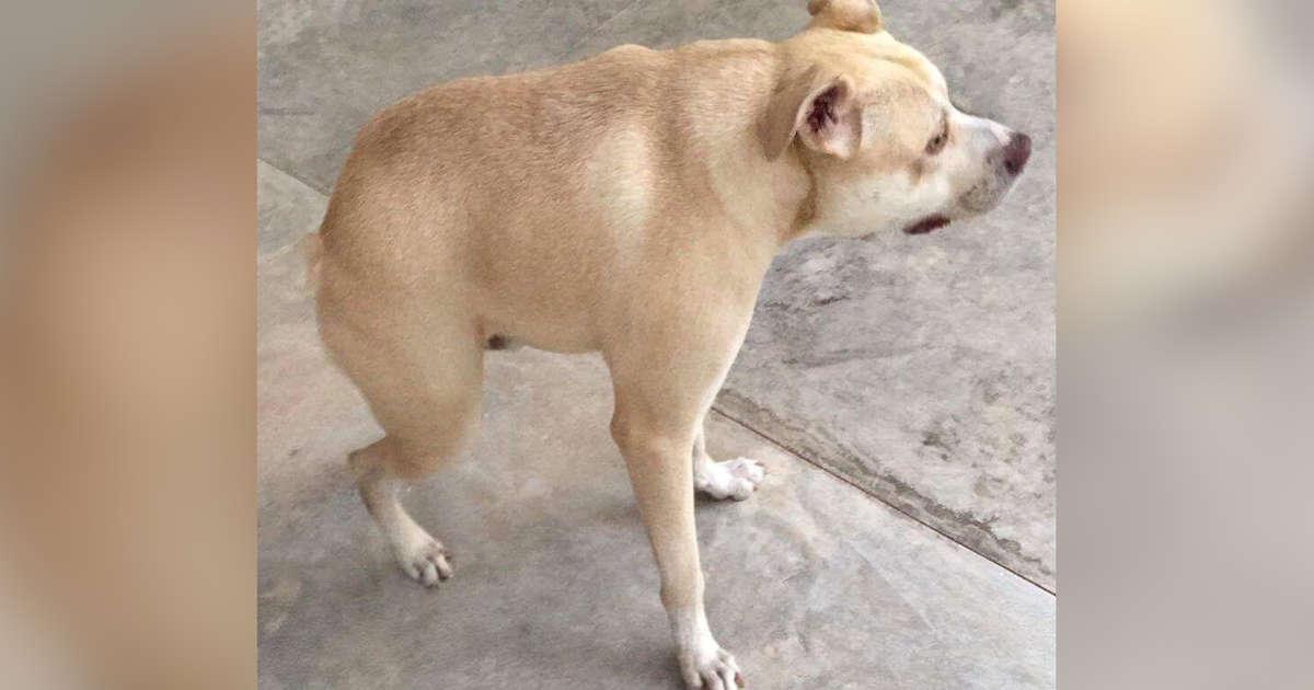dog with short spine
